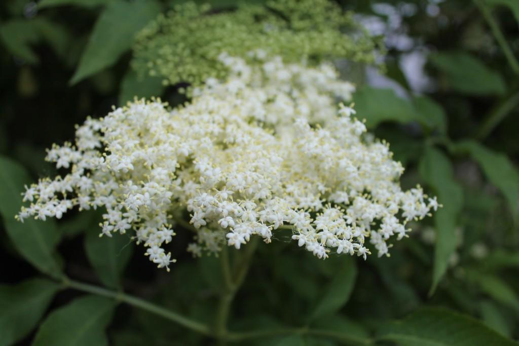 Kvety bazy čiernej
